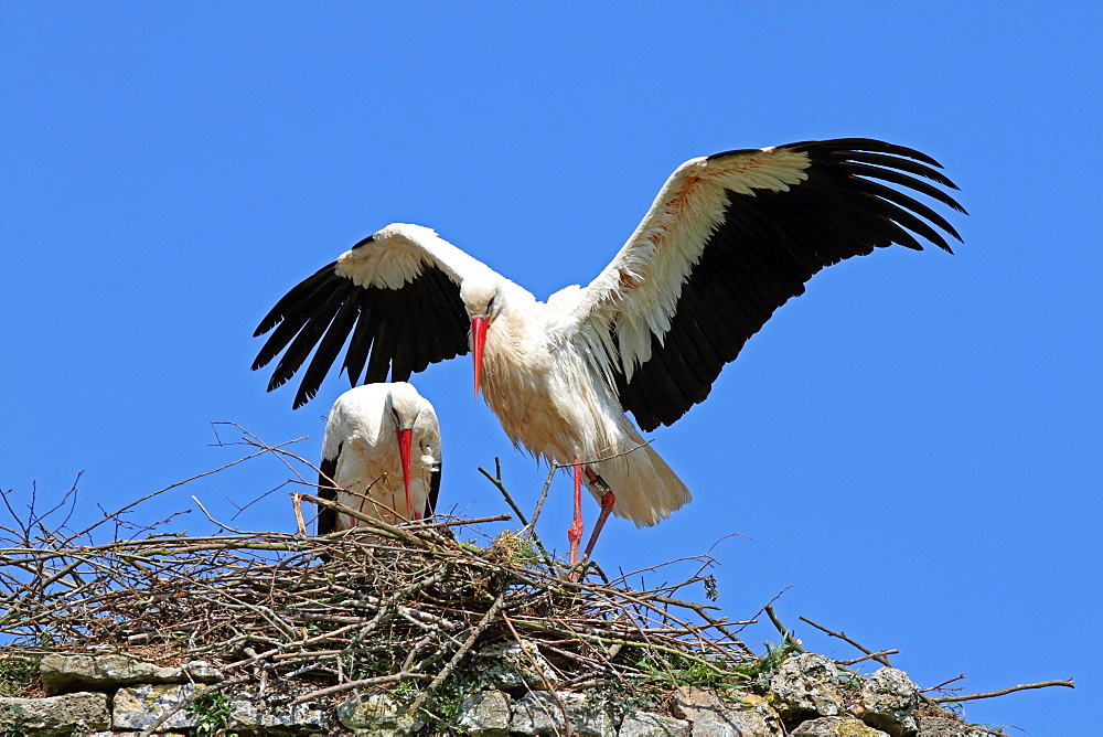 Couple of white storks at nest, Normandy France