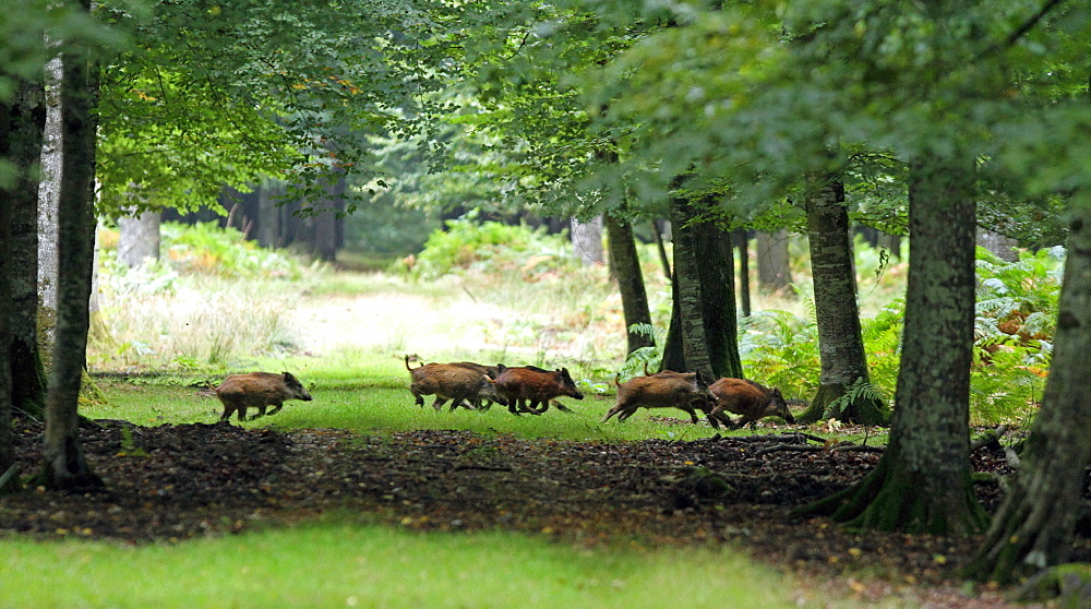 Eurasian wild boar crossing a driveway, Normandy France