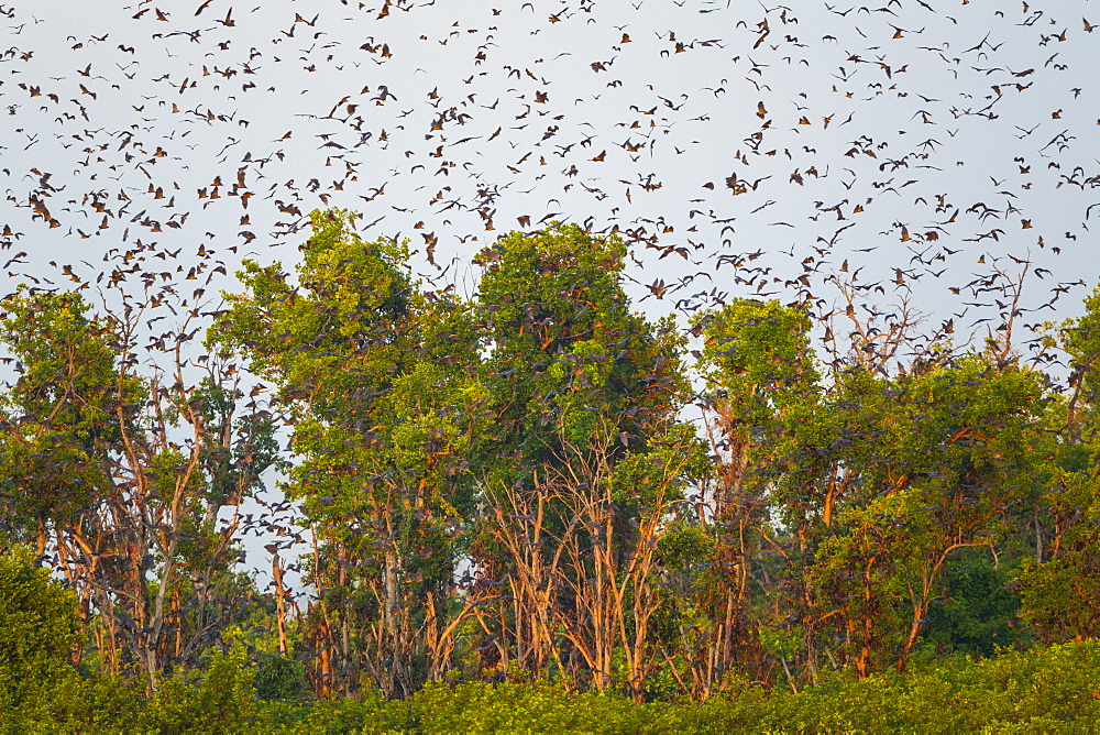 Straw-coloured fruit bats, Kasanka NP  Zambia