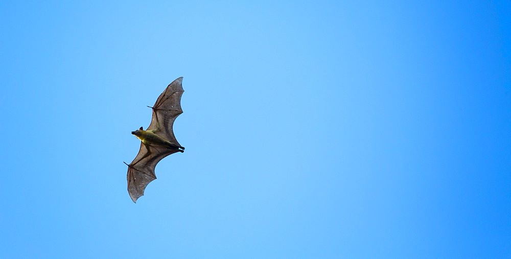 Straw-coloured fruit bat, Kasanka NP  Zambia