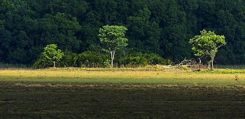 Puku in Savannah, PN Kasanka Zambia