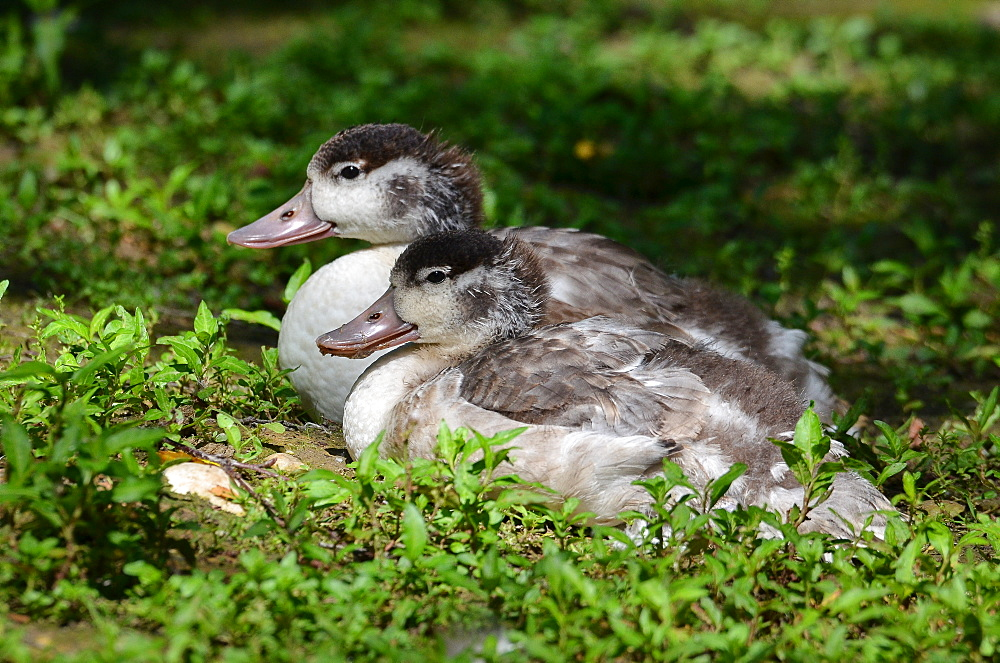 Young Shelducks at rest, France Parc des Oiseaux