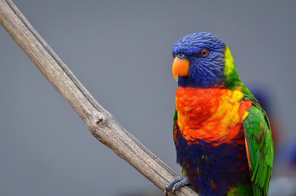 Rainbow  Lorikeet on a liane, France Parc des Oiseaux