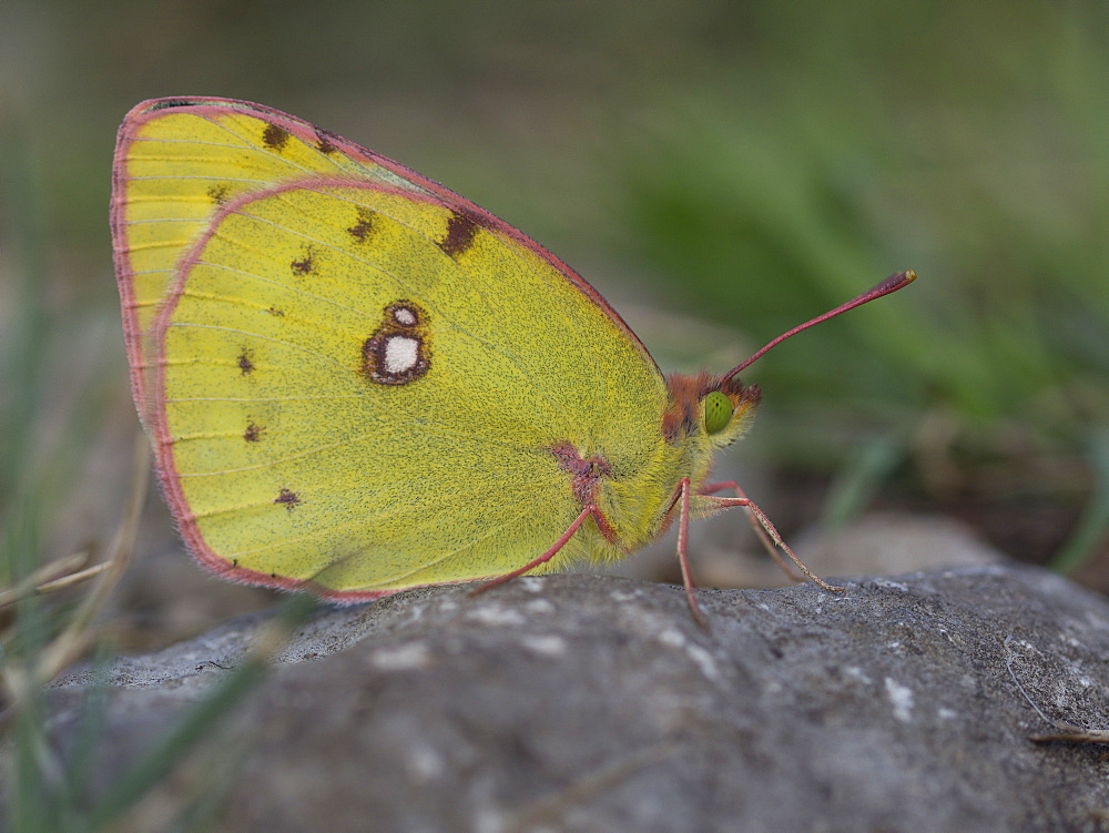 Clouded Yellow on rock, Franche-Comté France