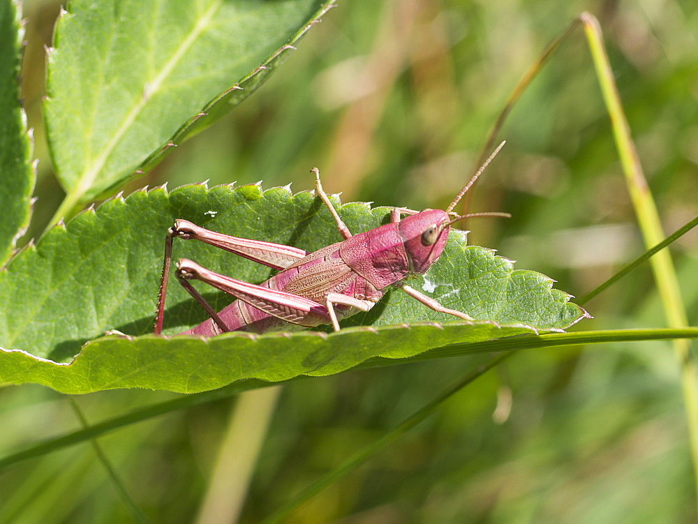 Large golden Grasshopper pink form, Franche-Comté France