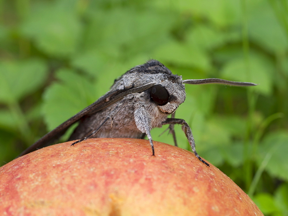 Convolvulus Hawk-moth on an apple, Franche-Comté France