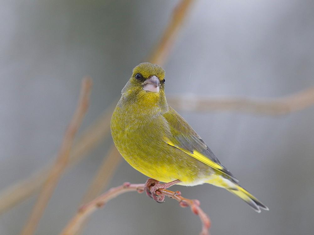 Greenfinch on a branch, Franche-Comté France