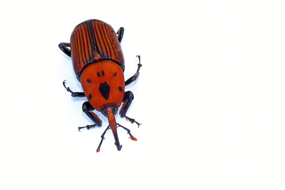 Red Palm Weevil male on white background