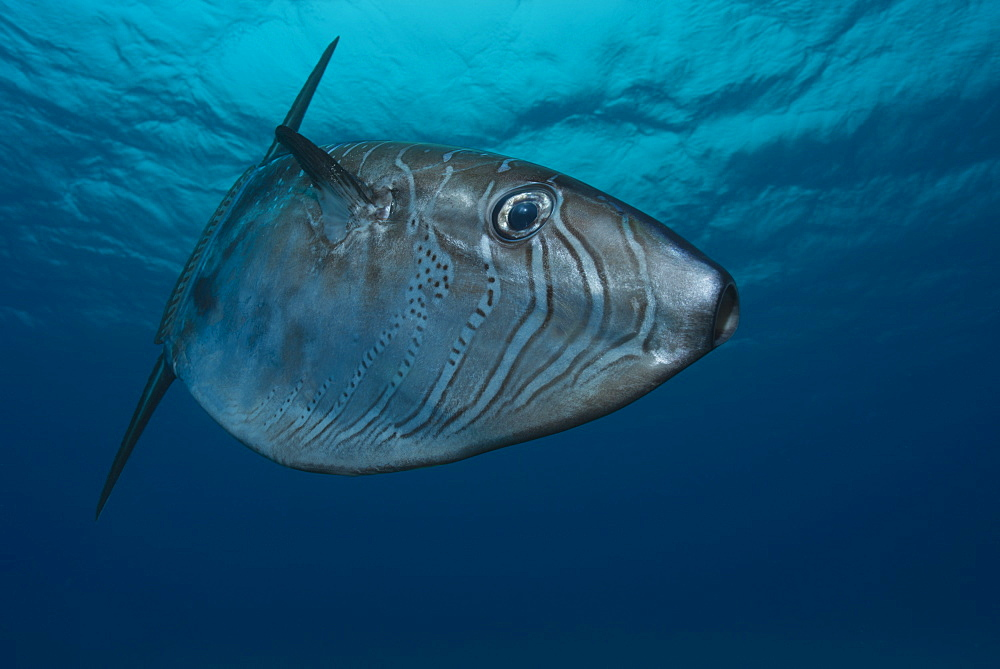 Slender sunfish under surface