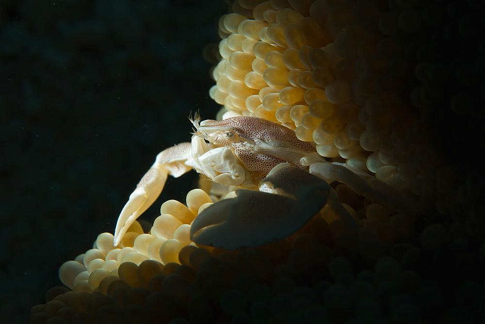 Porcelain crab in anemone, Haapai Tonga