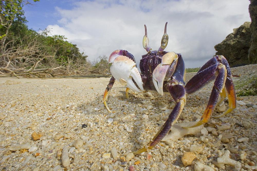 Ghost crab on beach,  Haapai Tonga