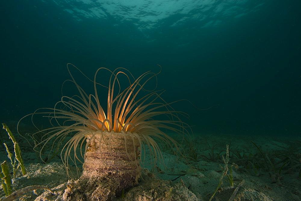 Tube anemone, Vanua Levu Fidji