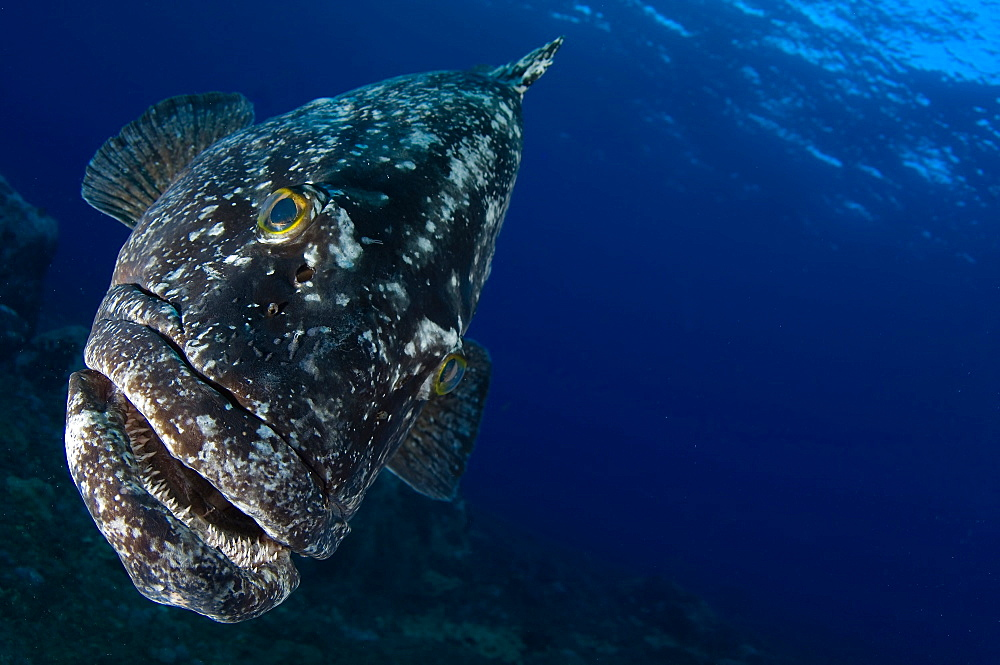 Kermadac grouper, New Zealand