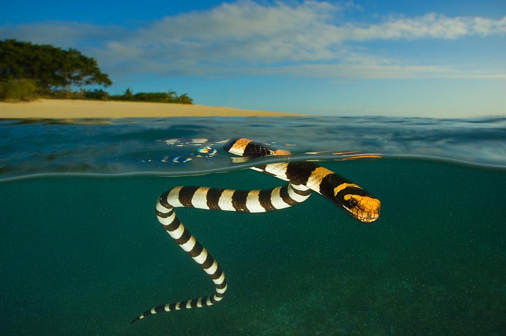Banded sea krait on surface, Amédée islet New Caledonia - 860-282736