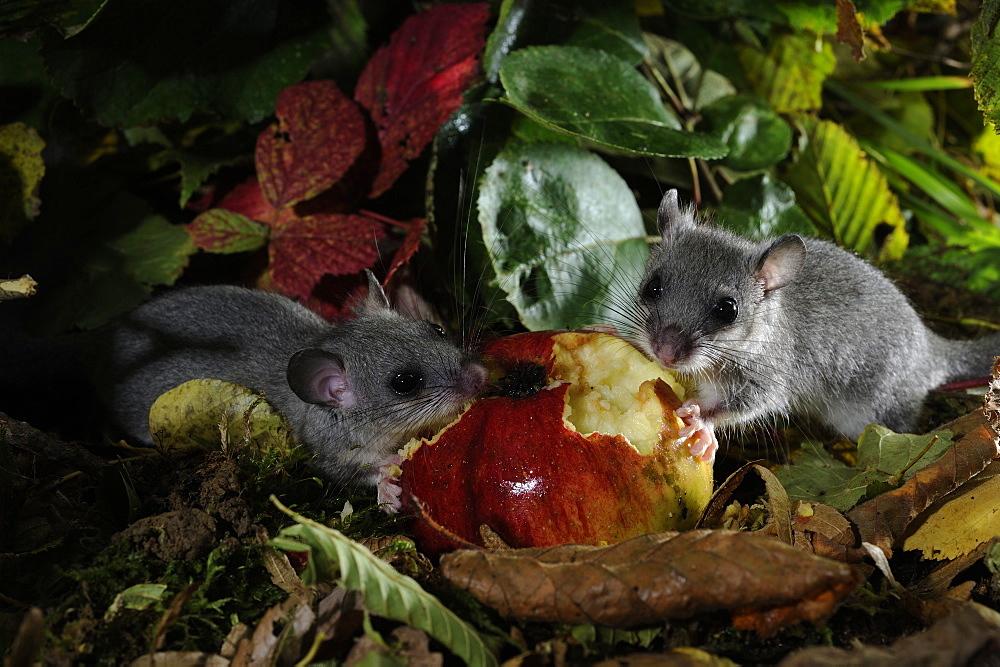 Fat Dormice eating a fallen fruit in autumn, France