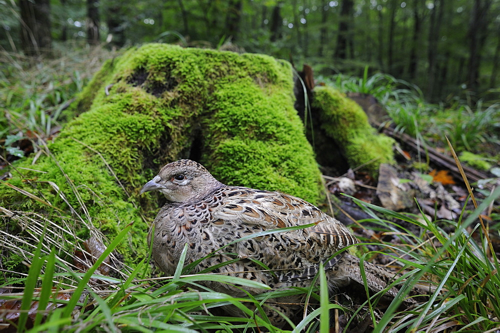 Ring-necked Pheasant female against a mossy stump, France