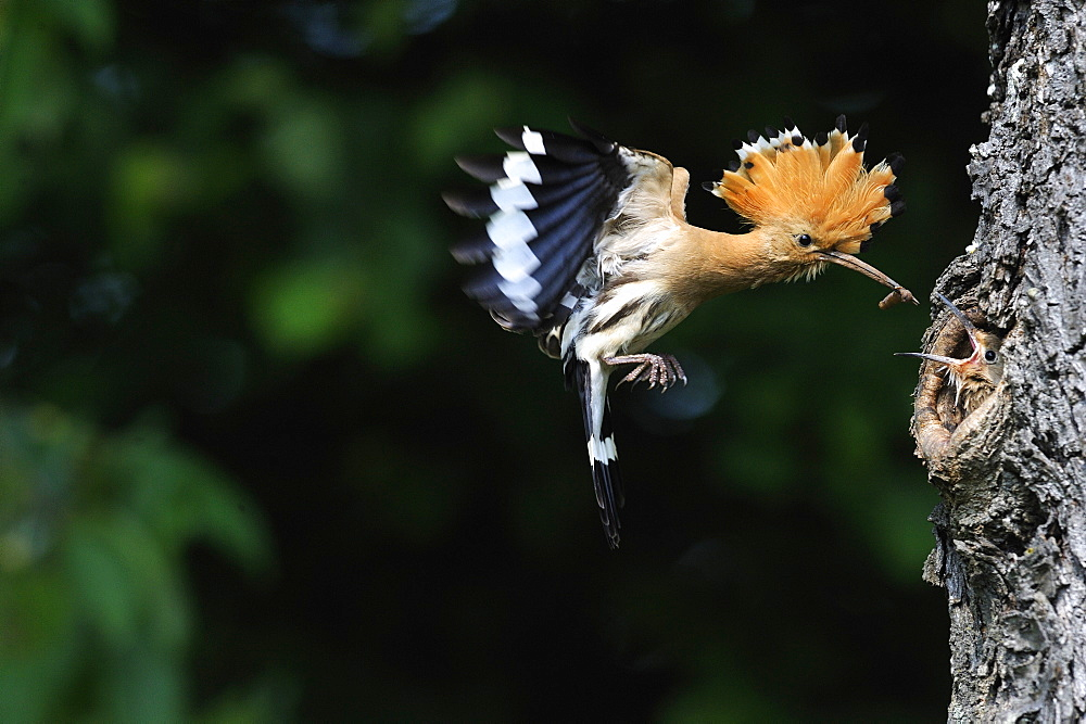 Hoopoe feeding in flight, France  - 860-282751