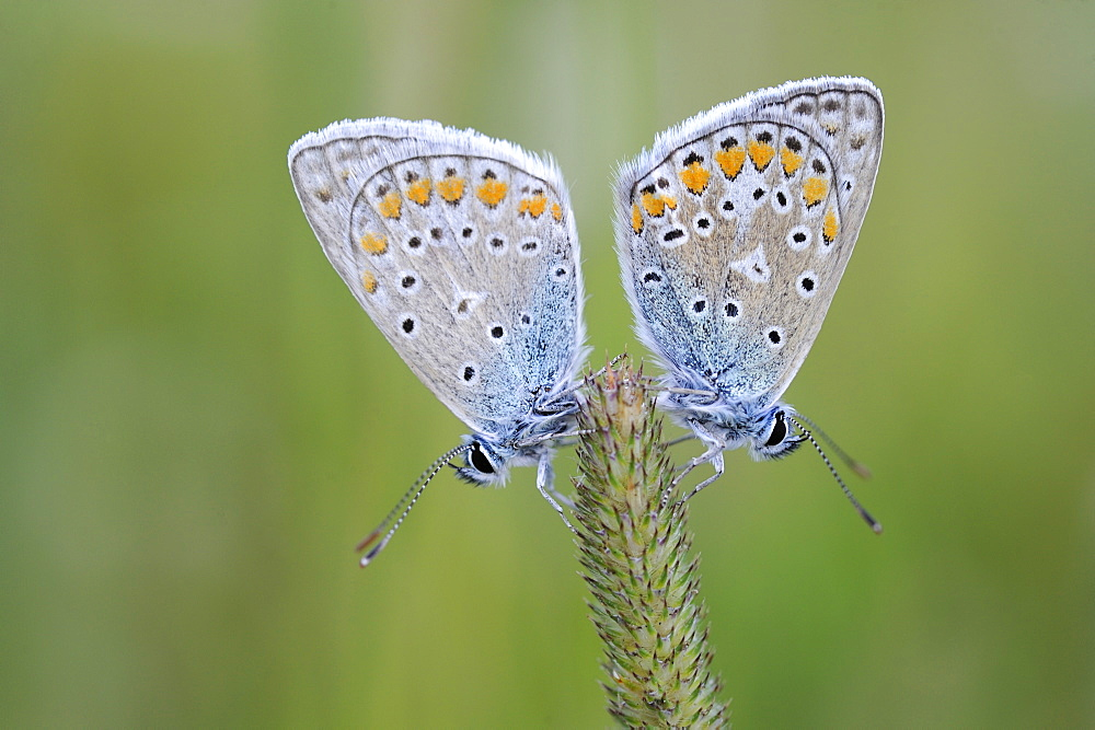 Common Blue on an ear, Lorraine France