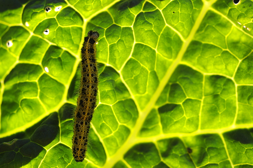 Caterpillars of Large White on leaf, Lorraine France