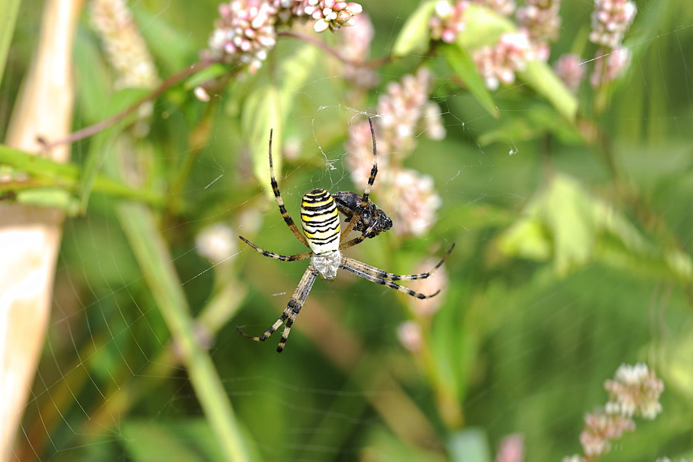 Wasp spider on his web, Lorraine France