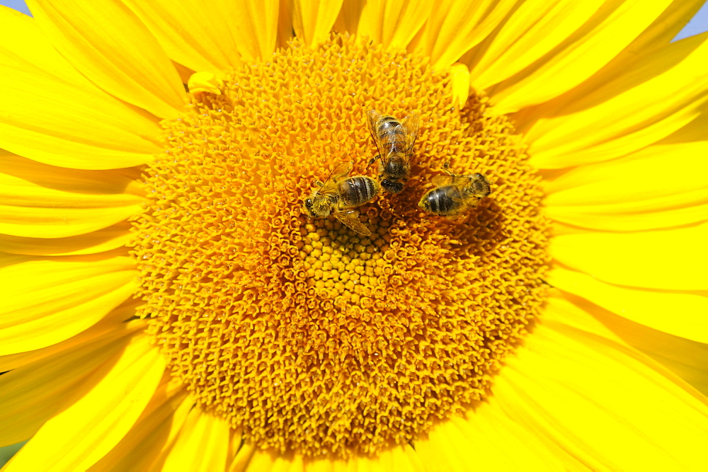 Honey bees on flower Sunflower, Lorraine France