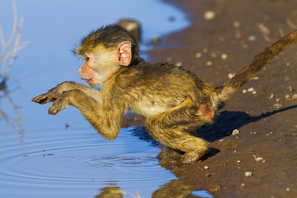 Young Yellow Baboon at the water's edge, Amboseli NP Kenya