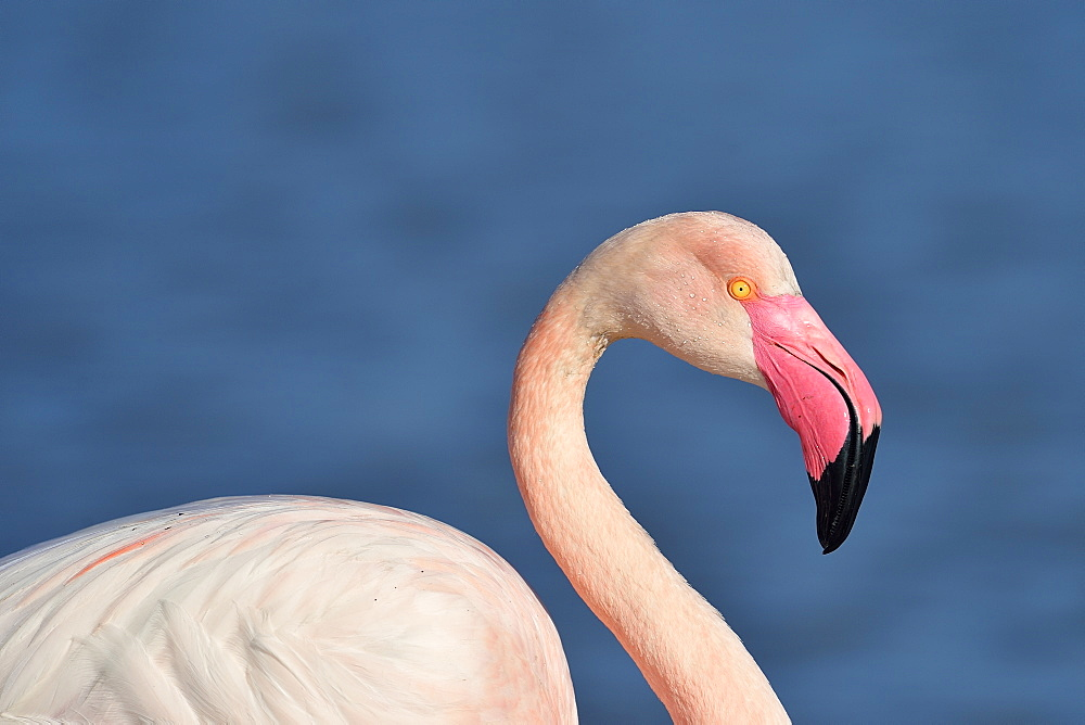 Portrait of Greater Flamingo in winter, Camargue France