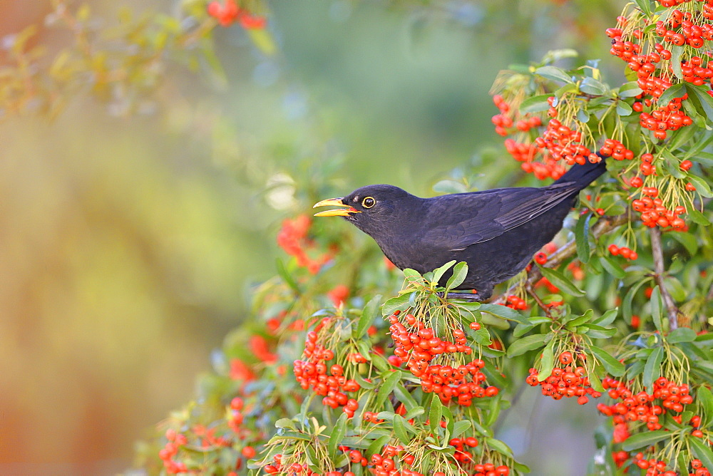 Blackbird eating red berries in autumn, France