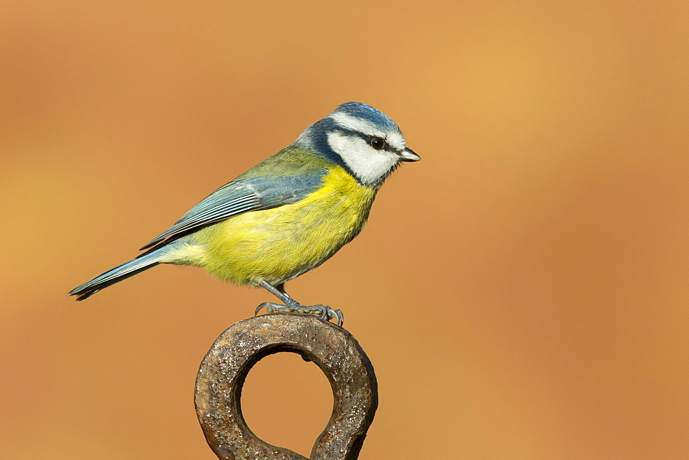 Blue Tit perched on a piece of steel in winter, GB