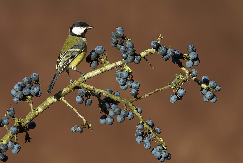 Great Tit perched on a Blackthorn in winter, GB