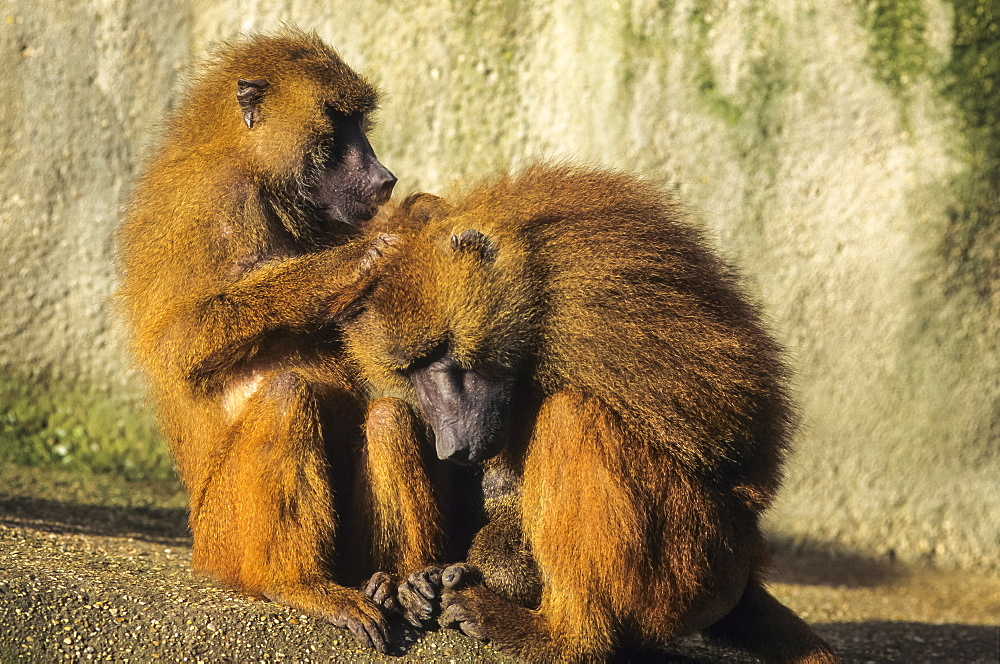 Guinea baboon grooming