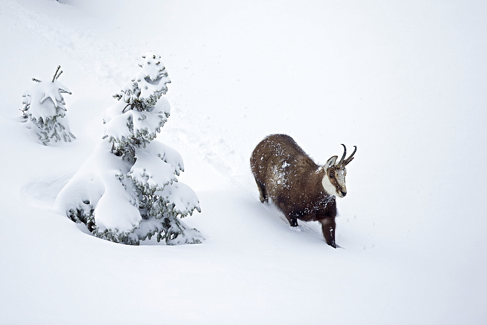 Chamois moving in deep snow, Jura Vaud Switzerland