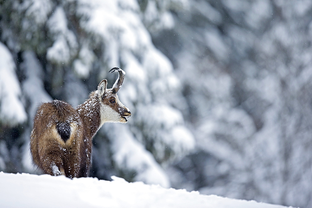 Chamois in deep snow, Jura Vaud Switzerland