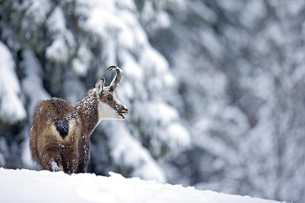 Chamois in deep snow, Jura Vaud Switzerland