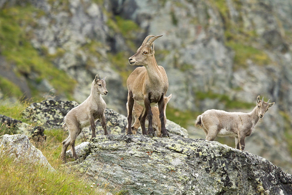 Female and young ibex on rock, Vanoise Alps France