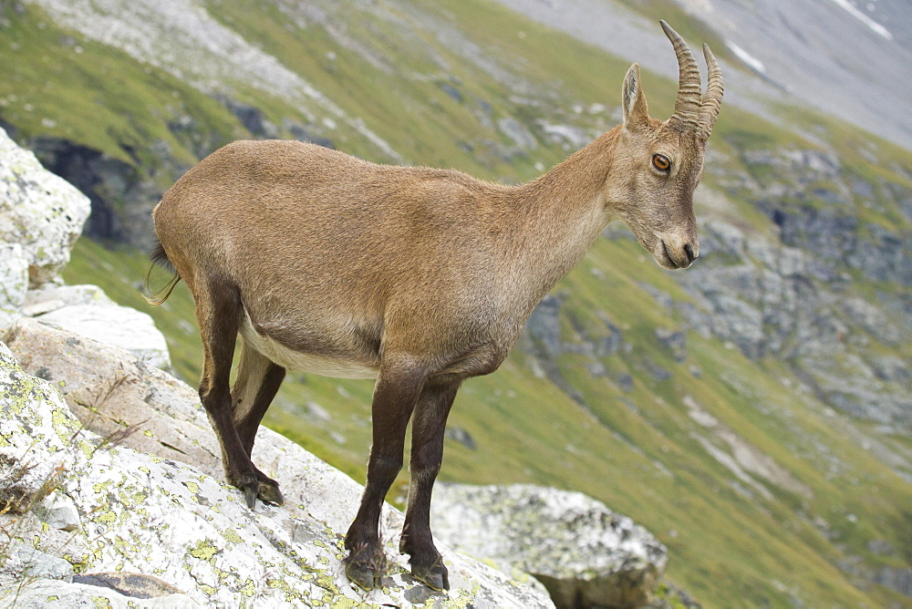 Female Ibex on rock, Vanoise Alps France