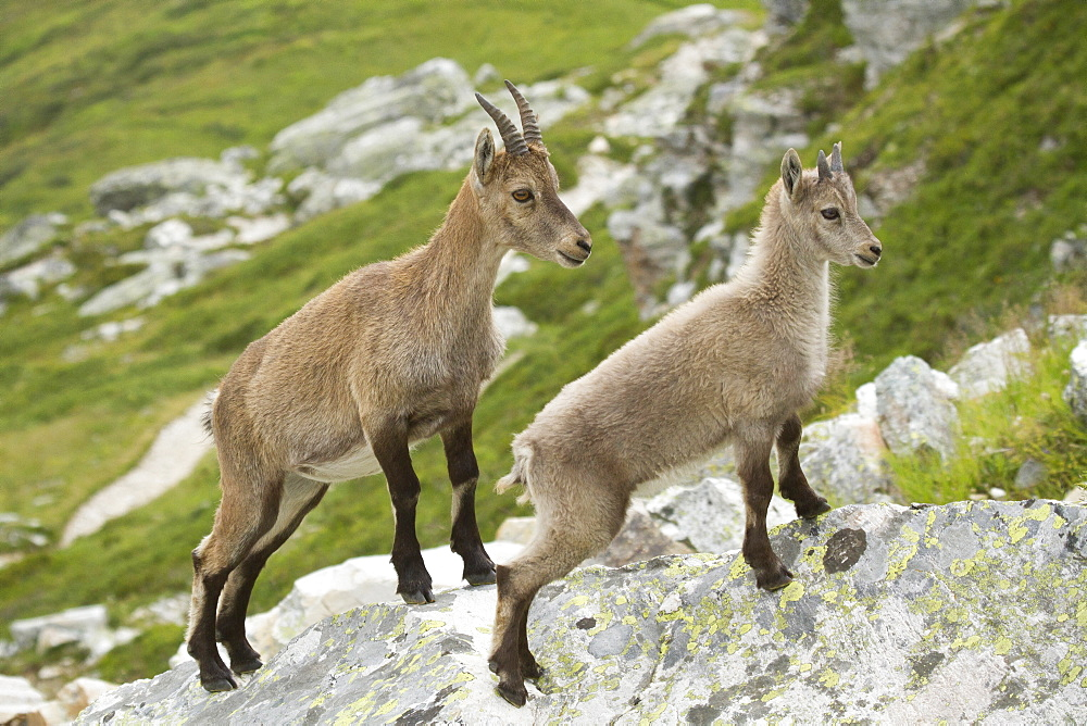 Female Ibex and young, Vanoise Alps France