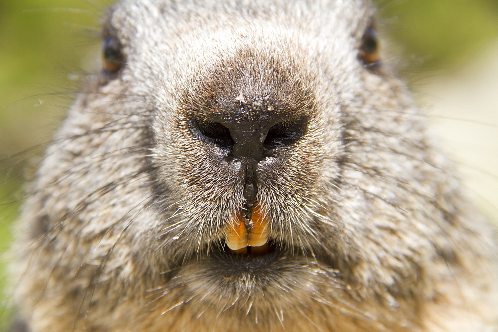 Portrait of Alpine Marmot, Ecrins NP Alps France