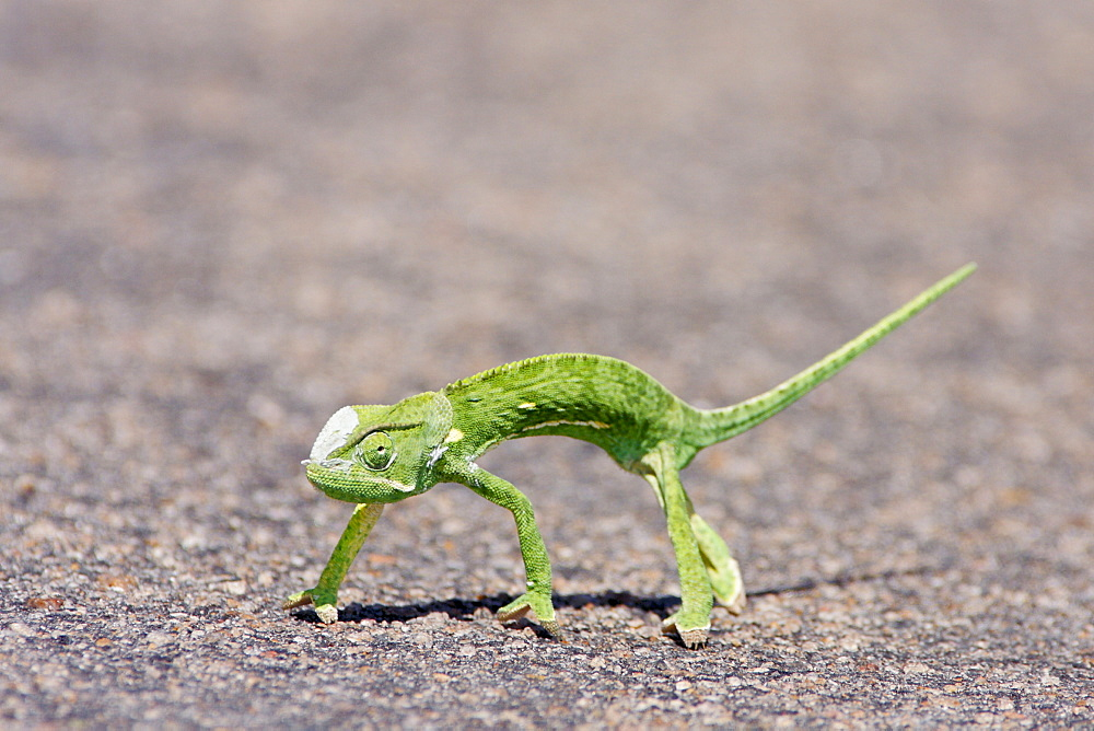 Flap-necked chameleon crossing a road, Kruger RSA