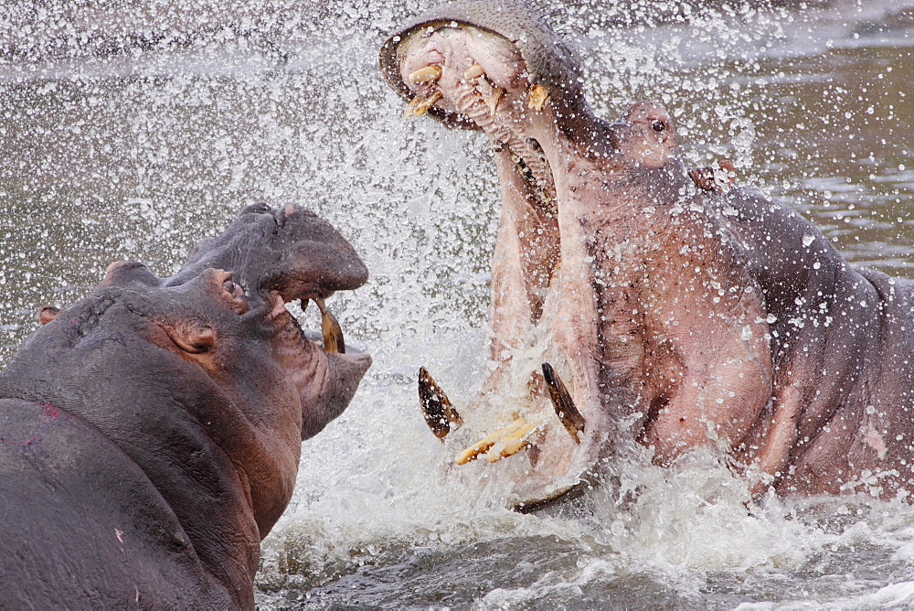 Female hippopotamus threatening a young male, Kruger RSA