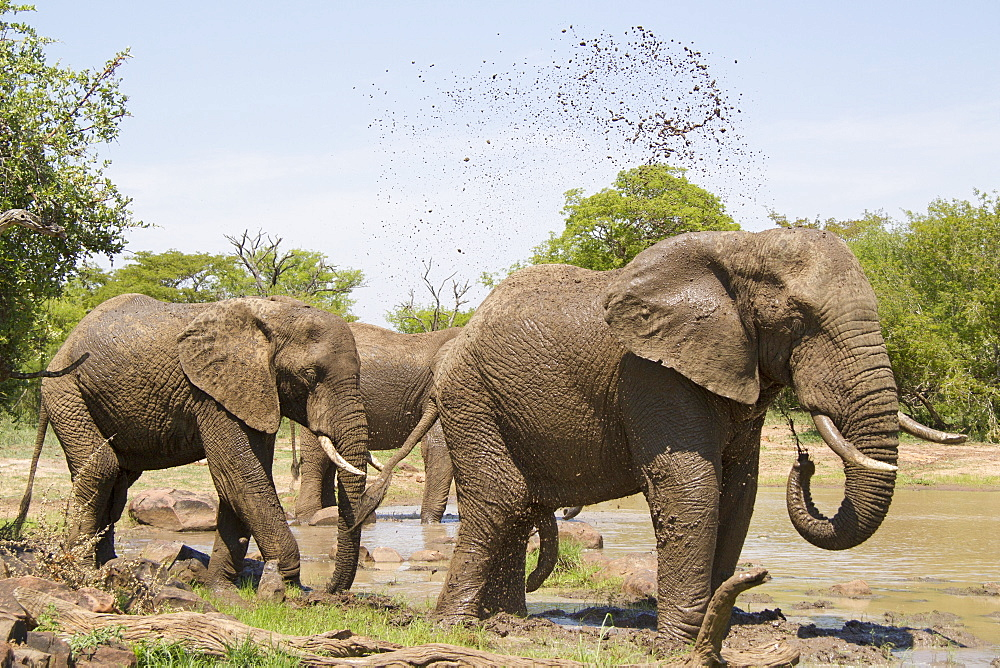African Elephants taking a mud bath, Kruger South Africa