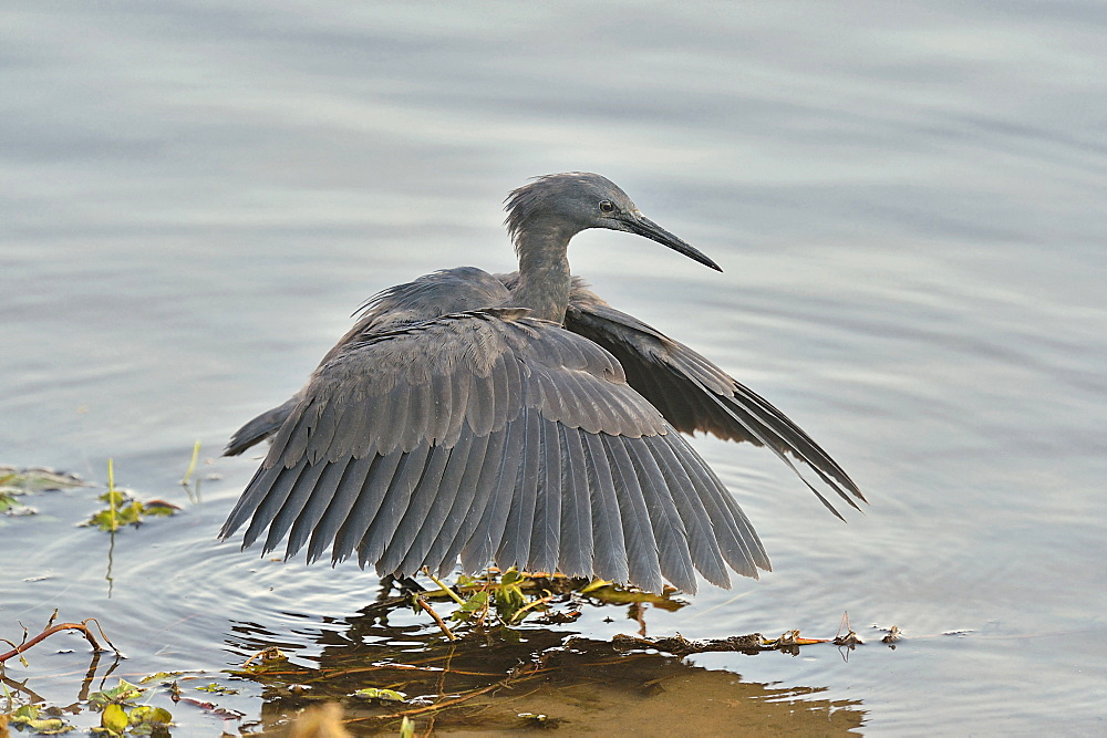 Black Heron fishing in posture, Botswana