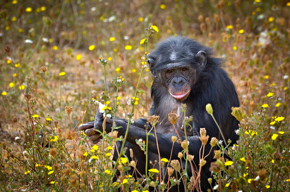 Bonobo eating fruit, Monkey Valley France