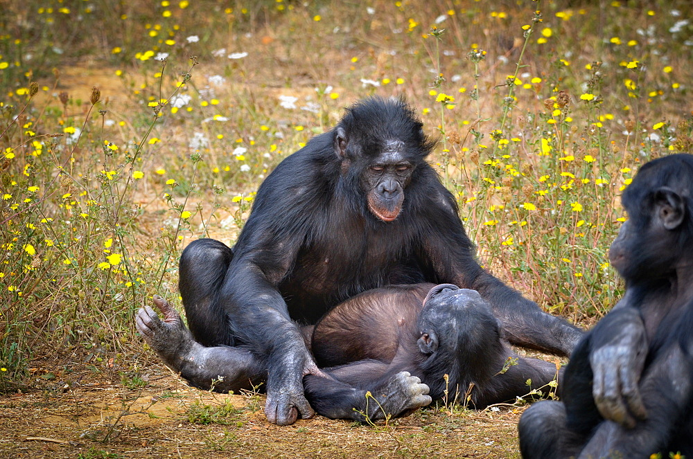 Bonobos mating, Monkey Valley France