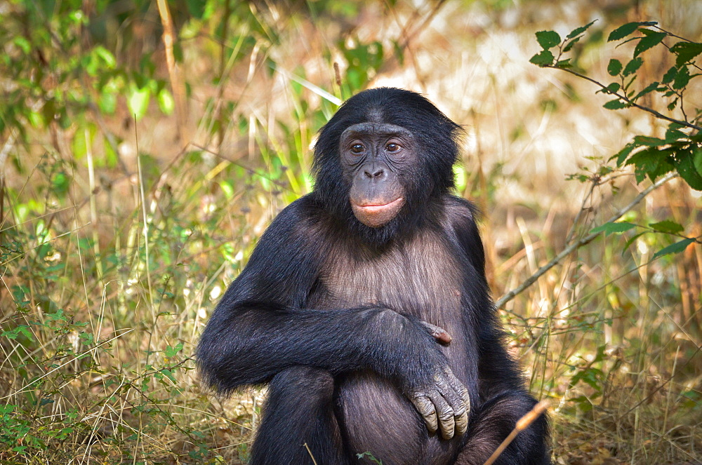 Young Bonobo sitting, Monkey Valley France