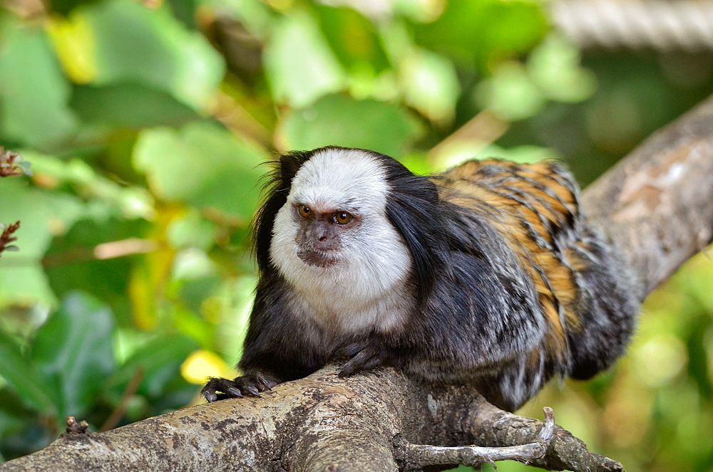 Geoffroy's marmoset on a branch, Monkey Valley France