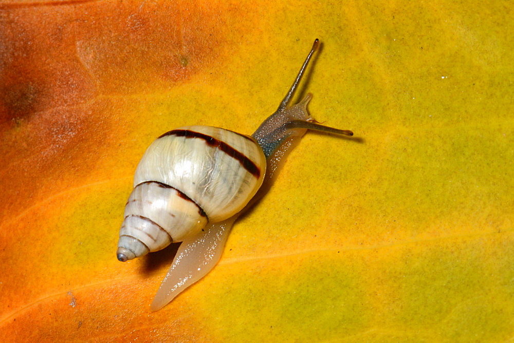 Snail on a leaf, Isle of Pines New Caledonia