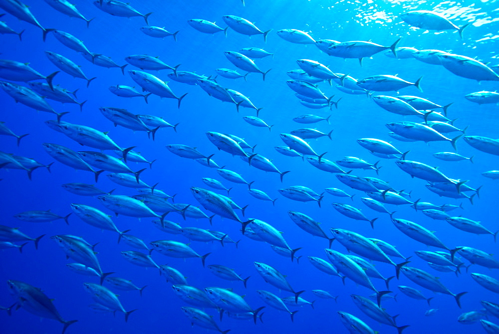 School of juveniles bluefin tuna, Azores Atlantic Ocean