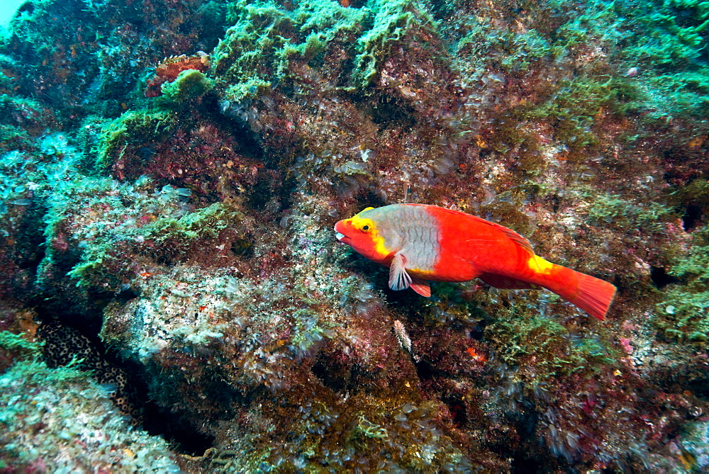 Mediterranean Parrotfish on reef, Azores Atlantic Ocean