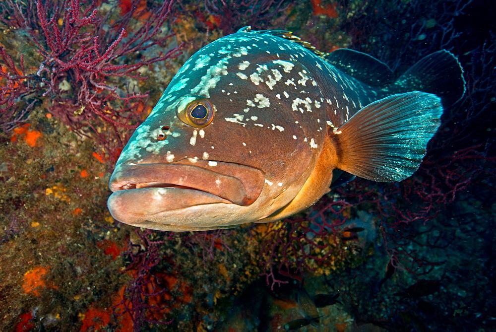 Dusky grouper on reef, Corse France